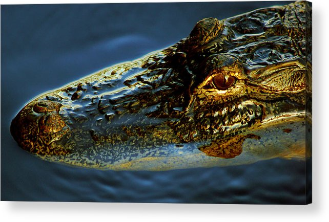 Florida Acrylic Print featuring the photograph Alligator by Daniel Woodrum