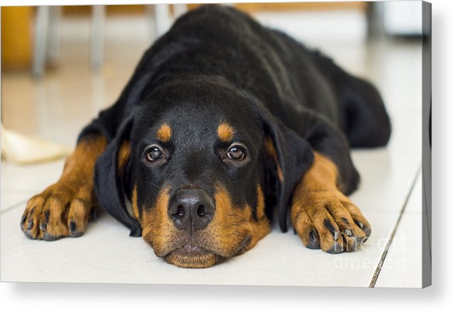 Puppy Acrylic Print featuring the photograph Day Dreaming by Aged Pixel