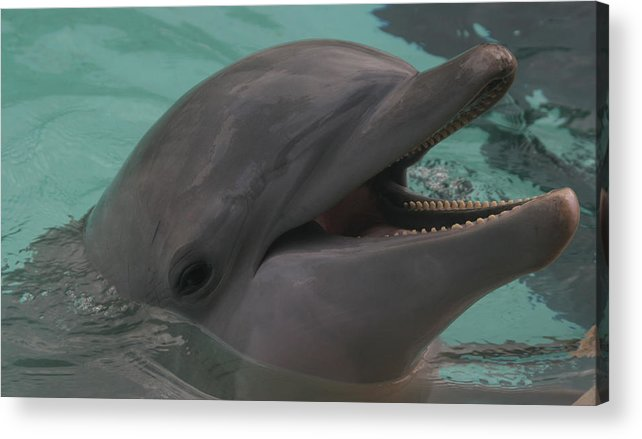 Dolphin Acrylic Print featuring the photograph Dolphin by Dervent Wiltshire