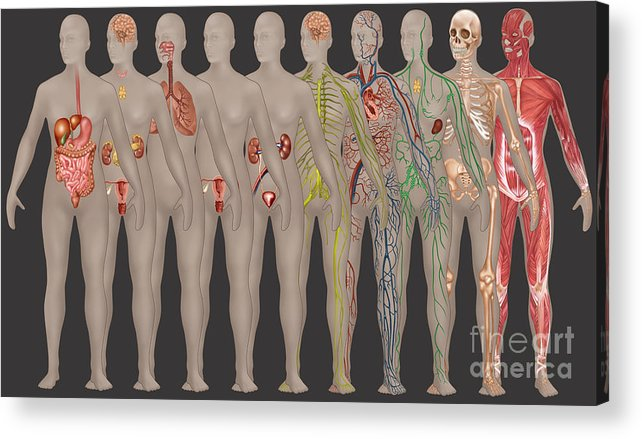 Science Acrylic Print featuring the photograph Human Systems In The Female Anatomy by Gwen Shockey