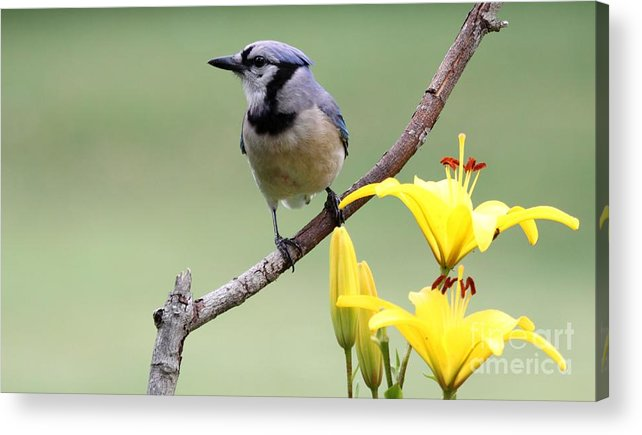 Nature Acrylic Print featuring the photograph Blue Jay by Jack R Brock