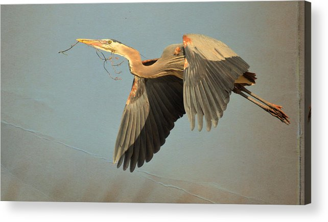 Great Blue Heron Acrylic Print featuring the photograph New Beginnings 2 by Fraida Gutovich