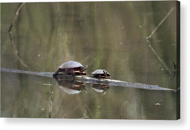 Turtle Acrylic Print featuring the photograph 070406-68 by Mike Davis