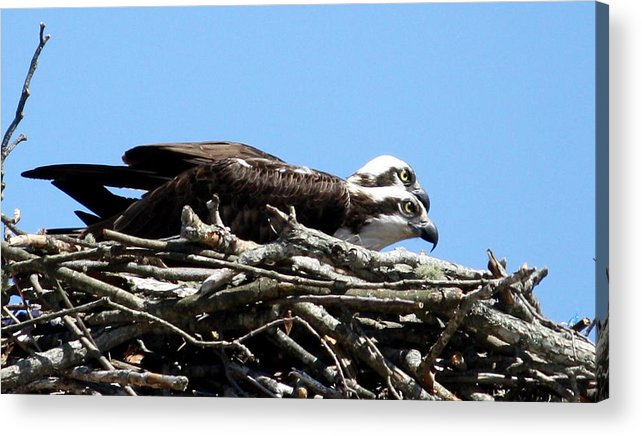 Osprey Acrylic Print featuring the photograph Osprey Pair by Annie Babineau