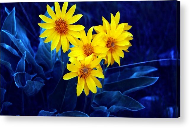 Sunflowers Acrylic Print featuring the photograph Wild Sunflowers by Tiffany Vest
