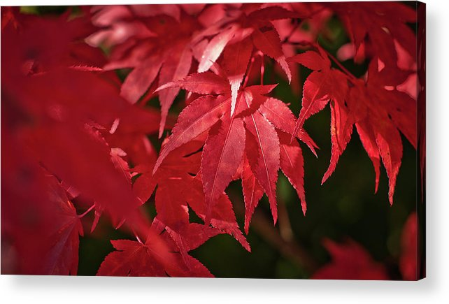 Outdoors Acrylic Print featuring the photograph Red Automn Leaves by F.cadiou