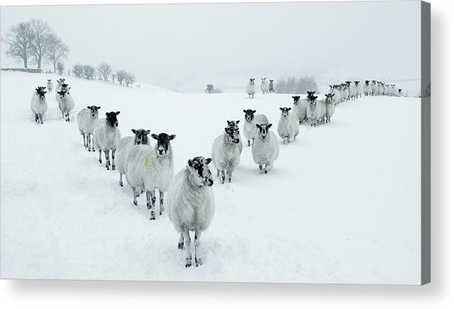 Cool Attitude Acrylic Print featuring the photograph Winter Sheep V Formation by Motorider