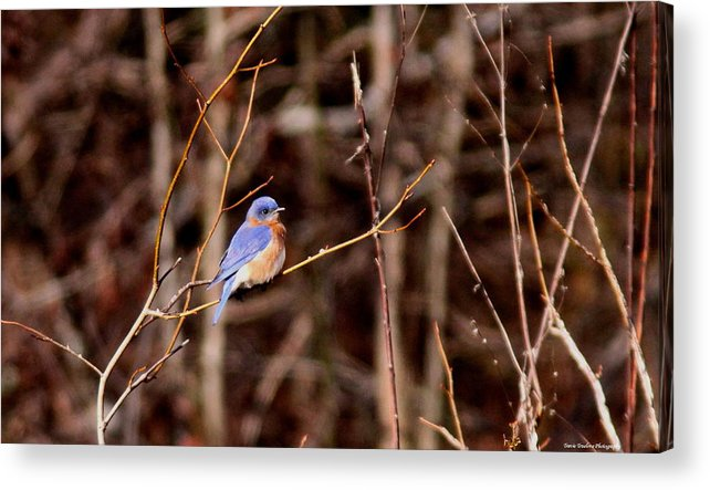 Eastern Bluebird Acrylic Print featuring the photograph Standout by Travis Truelove