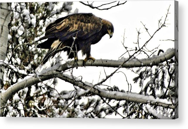 Eagles Acrylic Print featuring the photograph Golden Eagle Watches by Don Mann