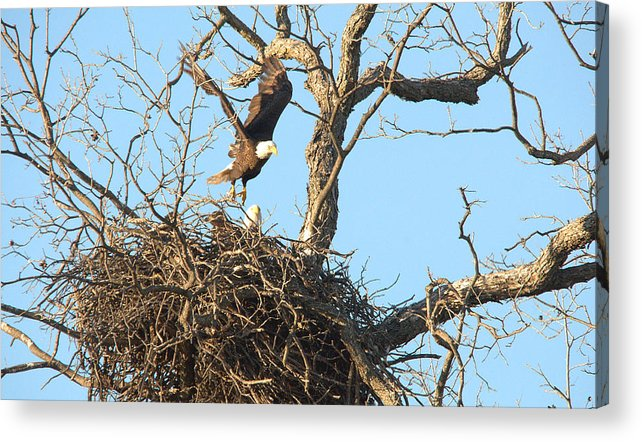 Roy Williams Acrylic Print featuring the photograph Bald Eagle Leaving The Nest by Roy Williams