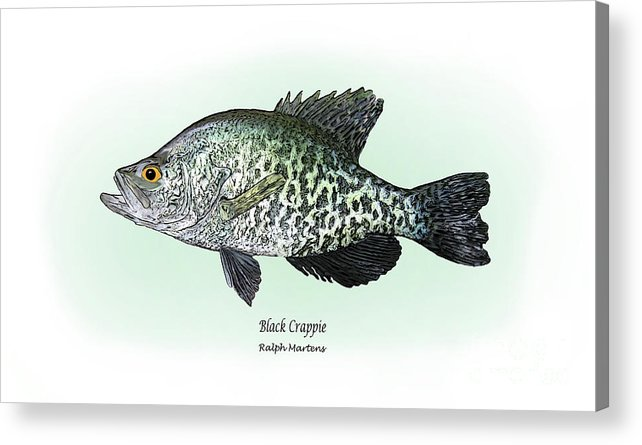 Crappie Acrylic Print featuring the drawing Black Crappie by Ralph Martens