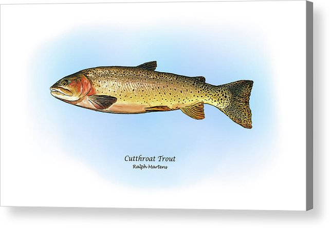 Cutthroat Trout Acrylic Print featuring the painting Cutthroat Trout by Ralph Martens