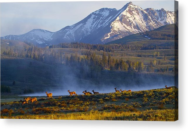 Elk Acrylic Print featuring the photograph Yellowstone Morning by Bruce Colin