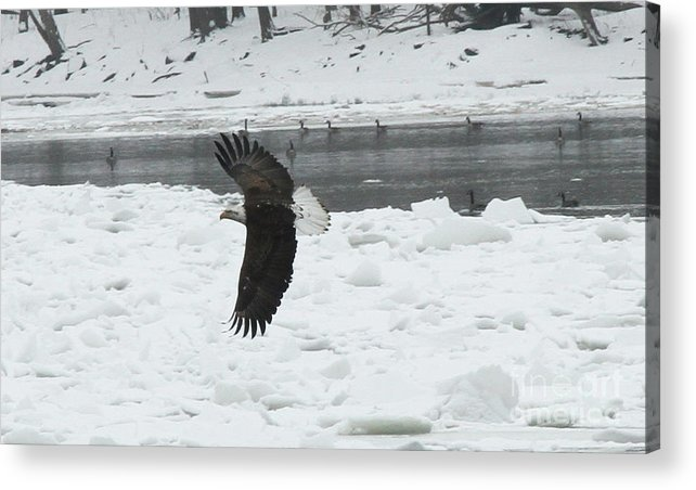 Eagle Acrylic Print featuring the photograph Eagle By River by Krista Kulas