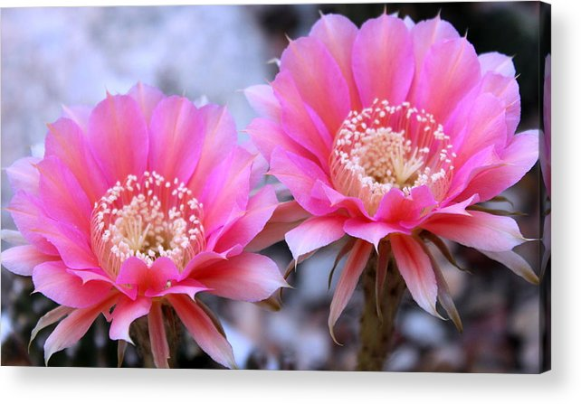 Cactus Acrylic Print featuring the photograph One Day Wonder by M Diane Bonaparte