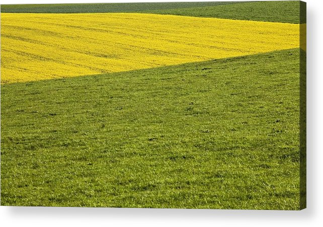 Canola Acrylic Print featuring the photograph Yellow Rapeseed Growing Amongst Green by Peter McCabe