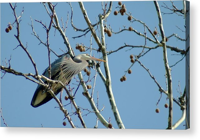 Bird Acrylic Print featuring the photograph 040510-78 by Mike Davis