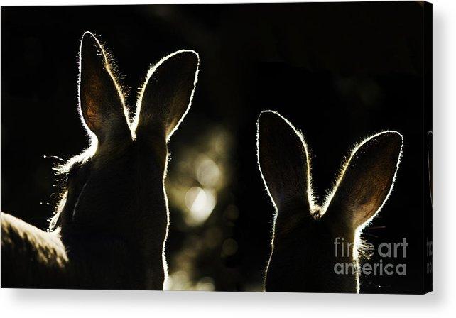 Kangaroo Acrylic Print featuring the photograph Kangaroos Backlit by Sheila Smart Fine Art Photography