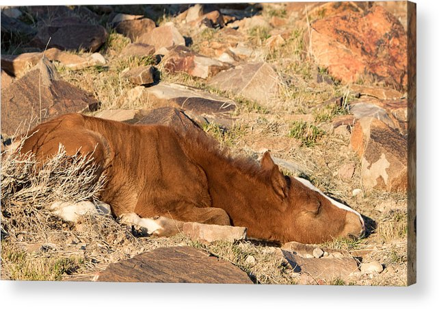 Horse Acrylic Print featuring the photograph Sleeping Colt by Kent Keller