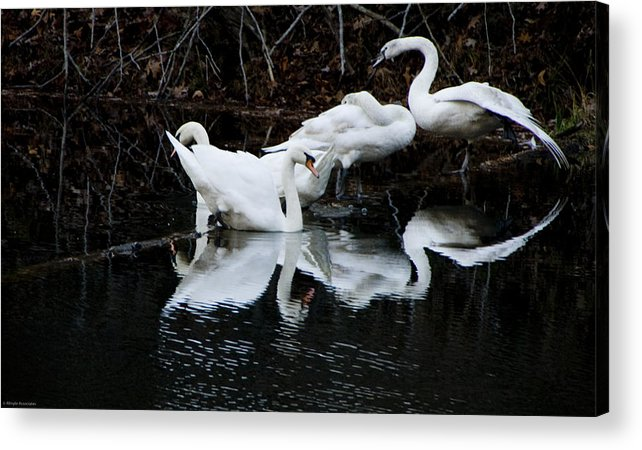Birds Acrylic Print featuring the photograph Swans And Snow Geese by Ches Black
