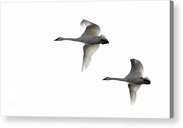 Swans Acrylic Print featuring the photograph Winter Swans by David Wynia