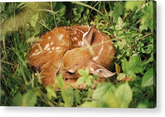 Deer Acrylic Print featuring the photograph 080806-17 by Mike Davis