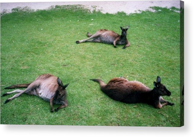 Acrylic Print featuring the photograph Australian Native Animals by Peter Halmos