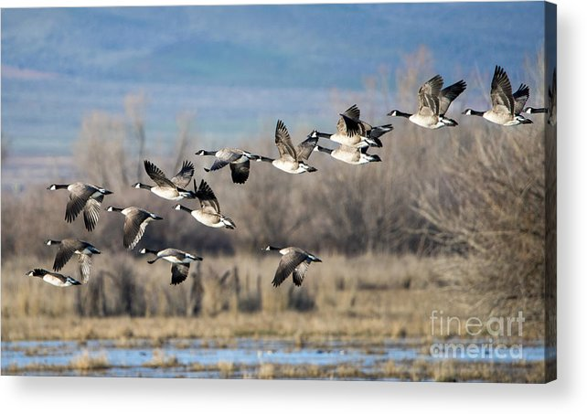 Canada Geese. Geese Acrylic Print featuring the photograph Canada Geese Flock by Mike Dawson