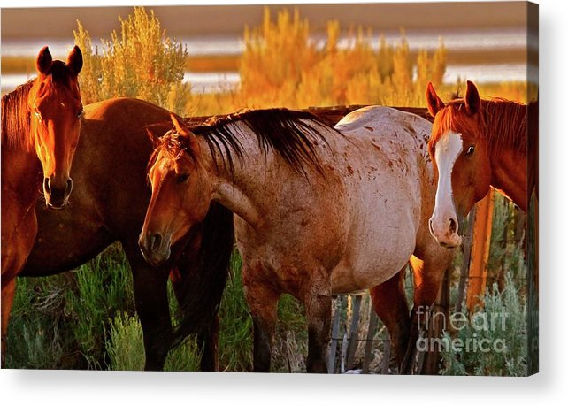 Horse Acrylic Print featuring the photograph Three Horses Of A Suspicious Corral by Gus McCrea