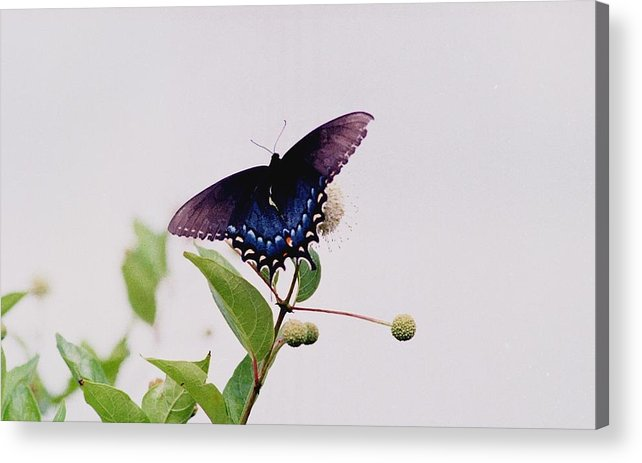 Butterfly Acrylic Print featuring the photograph 080706-5 by Mike Davis