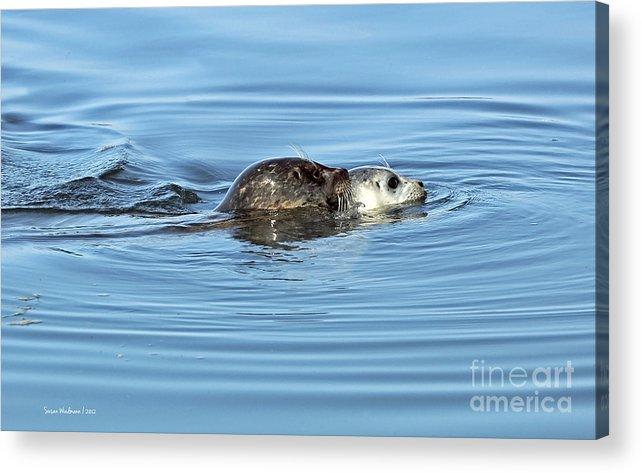 Susan Wiedmann Acrylic Print featuring the photograph Mother Harbor Seal And Pup by Susan Wiedmann