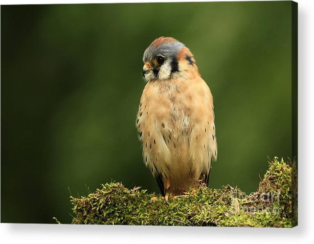 American Kestrel Acrylic Print featuring the photograph American Kestrel by Inspired Nature Photography Fine Art Photography