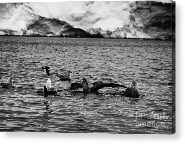 Flock Acrylic Print featuring the photograph flock of southern giant petrels one showing sealmaster agressive feeding posture in port lockroy Ant by Joe Fox