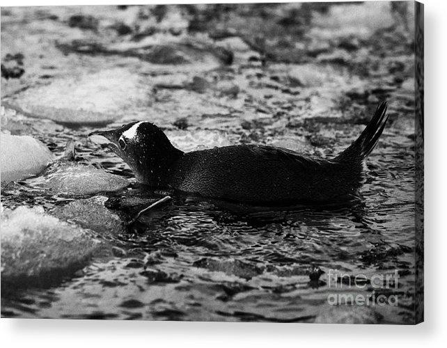 Gentoo Acrylic Print featuring the photograph Gentoo Penguin Swimming Through Brash Ice On Port Lockroy Antarctica by Joe Fox
