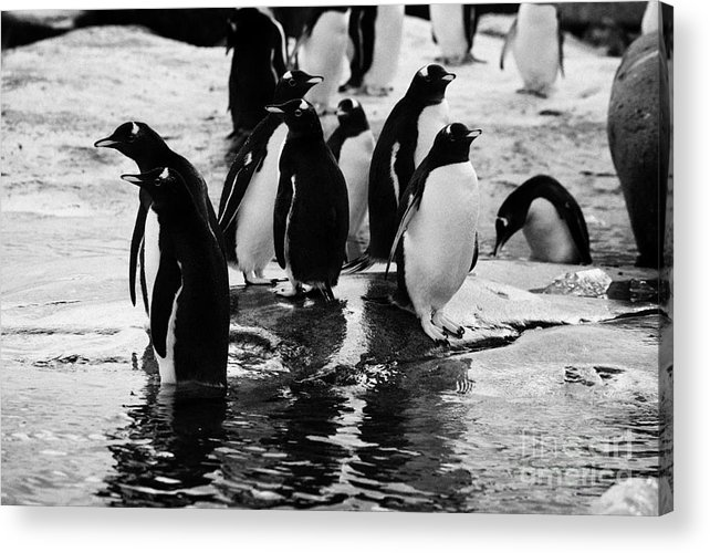 Gentoo Acrylic Print featuring the photograph Gentoo Penguins On Rocky Shoreline On Port Lockroy Antarctica by Joe Fox