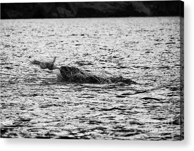 Leopard Acrylic Print featuring the photograph leopard seal killing a penguin in port lockroy Antarctica by Joe Fox