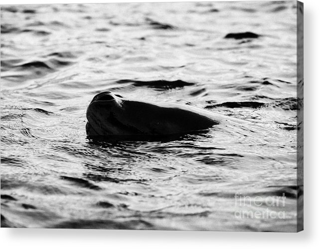 Leopard Acrylic Print featuring the photograph leopard seal peaking and breathing above water Antarctica by Joe Fox