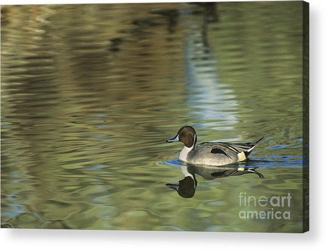 North America Acrylic Print featuring the photograph Northern Pintail In A Quiet Pond California Wildlife by Dave Welling
