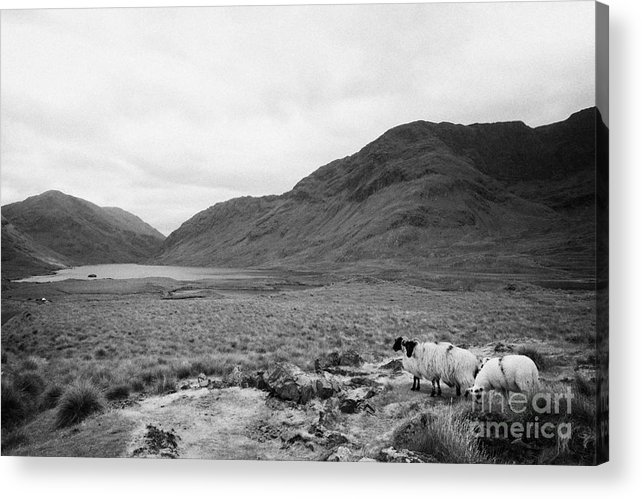 Ireland Acrylic Print featuring the photograph sheep on rough ground Doulough County Mayo by Joe Fox