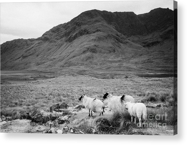 Ireland Acrylic Print featuring the photograph sheep on rough ground Doulough by Joe Fox