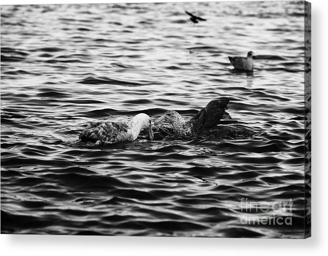 Southern Acrylic Print featuring the photograph two southern giant petrels feeding in port lockroy Antarctica by Joe Fox