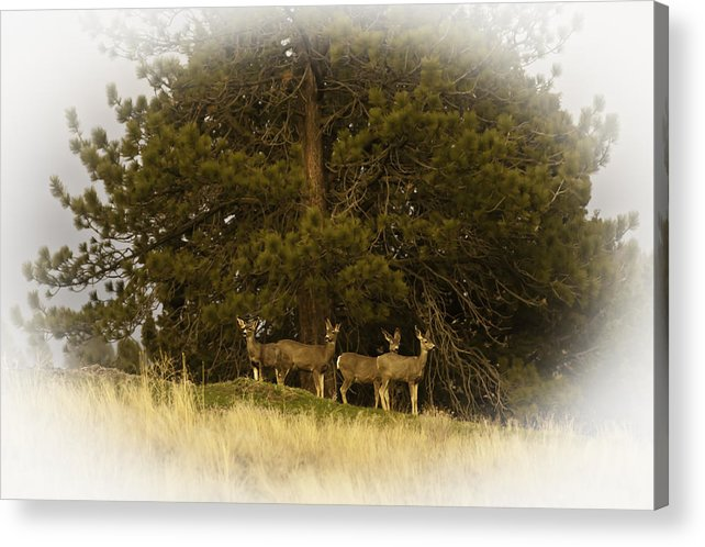 Mule Deer Acrylic Print featuring the photograph Watchful Eyes 2 by Sherri Meyer