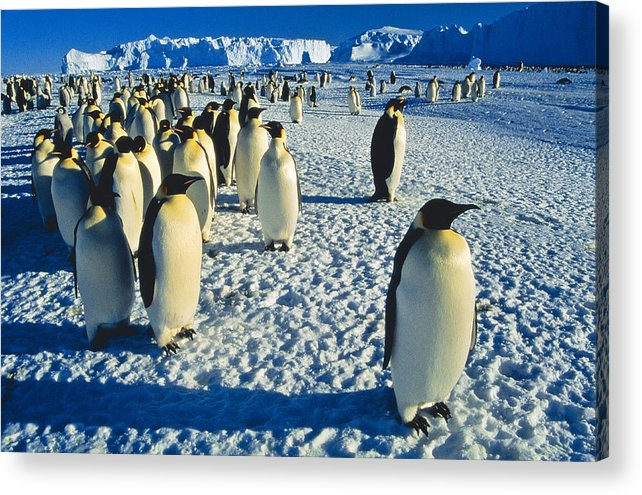 Antarctica Acrylic Print featuring the photograph Emperors by Andy Townsend