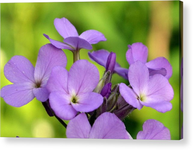 Flower Acrylic Print featuring the photograph Purple by Christina Davis