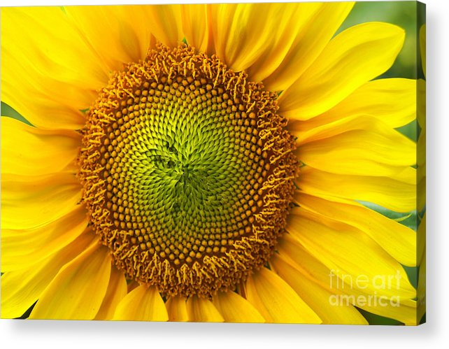 Sunflower Acrylic Print featuring the photograph Sunflower  by Benanne Stiens