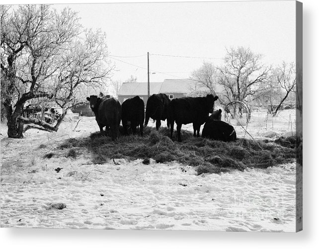 Feed Acrylic Print featuring the photograph feed and fresh grass laid out for cows on winter farmland Forget Saskatchewan Canada by Joe Fox