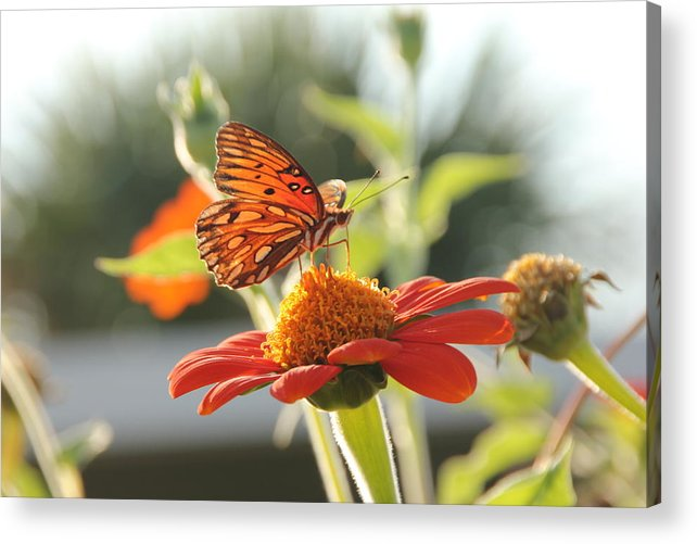 Butterfly Acrylic Print featuring the photograph Butterfly by Robert Johnston