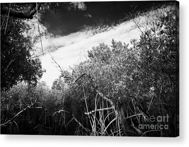 Florida Acrylic Print featuring the photograph Canopy Of The Mangrove Forest In The Florida Everglades Usa by Joe Fox