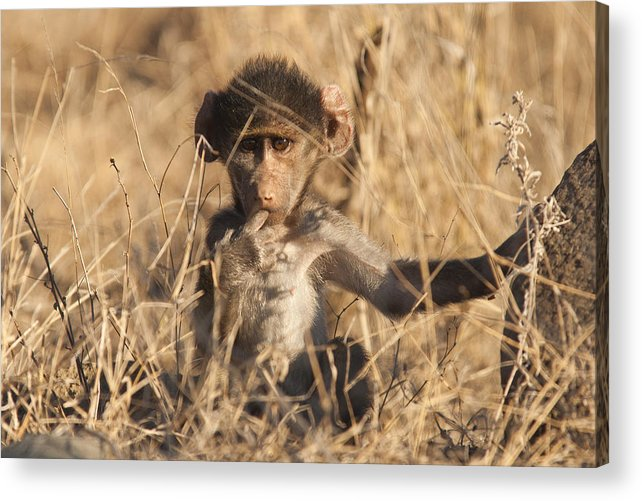 Baboon Acrylic Print featuring the photograph Cute by David Pryce