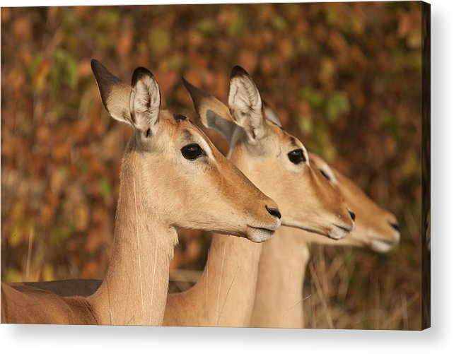 Impala Acrylic Print featuring the photograph Distraction by David Pryce